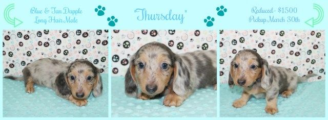 Ice Legendz Dachshunds Dachshund Breeder In Youngstown Ohio Dachshund Breeders Dog Breeder Dachshund