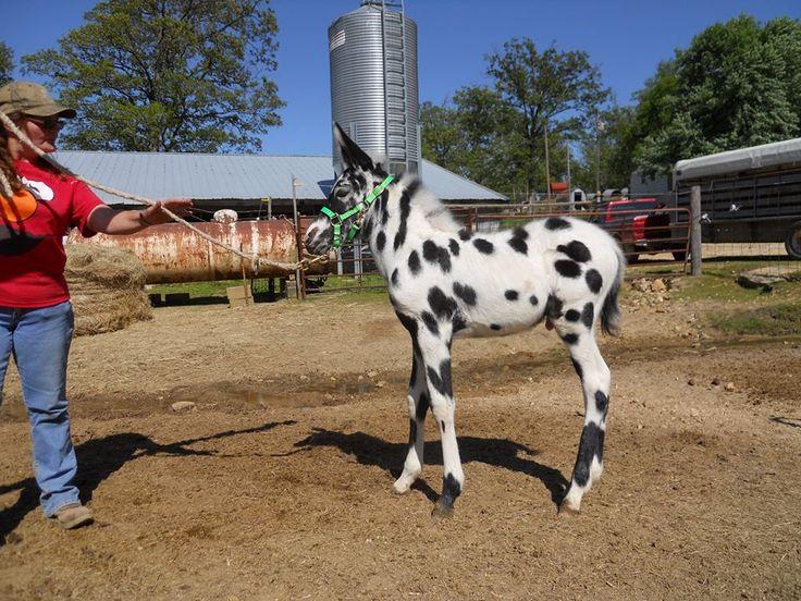 Post Farm Mules Colts Amp Fillies Pinterest Farming