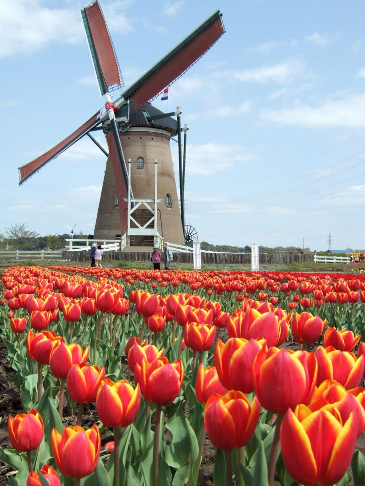 The Netherlands windmills and tulips Had a