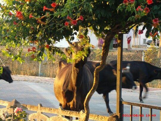 cow and kefken cebeci village Turkey