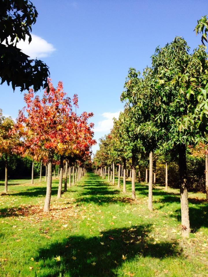 Incredibile come i #Liquidambar passino da un #verde così brillante ad un #rosso così intenso! La #magia dell' #autunno nel nostro #vivaio. #Amberbaum - #Amberboom - #Sweetgum