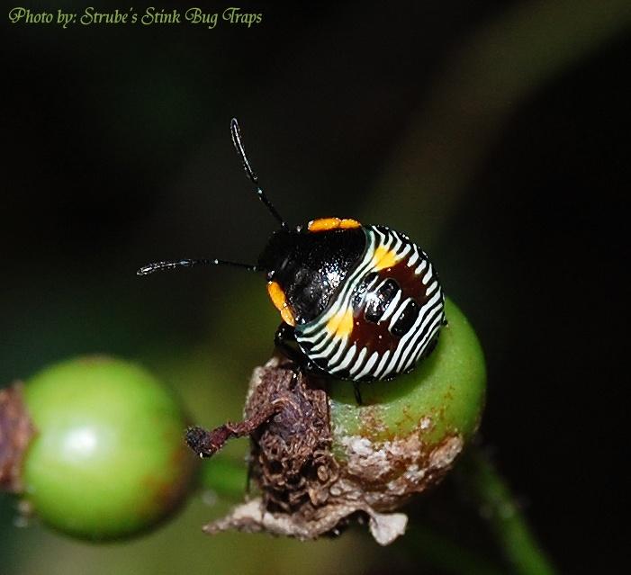 Baby Stink Bug Nymph