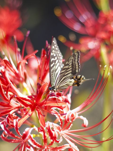 Asian Swallowtail on spider lily |! Flickr - Photo Sharing Swallowtail Butterflies