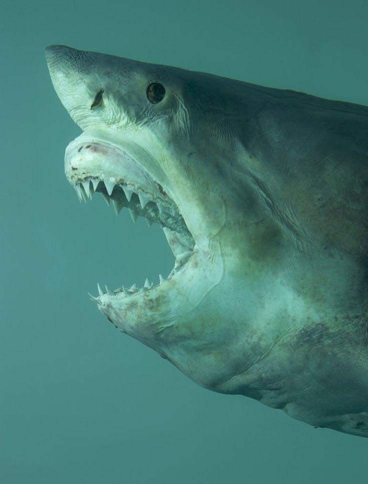 The 25 best shark jaws ideas on pinterest shark for Great white shark fishing