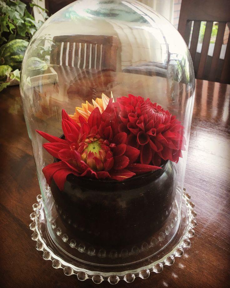 Glazen Stolp met dahlia's / glass dome with dahlia's