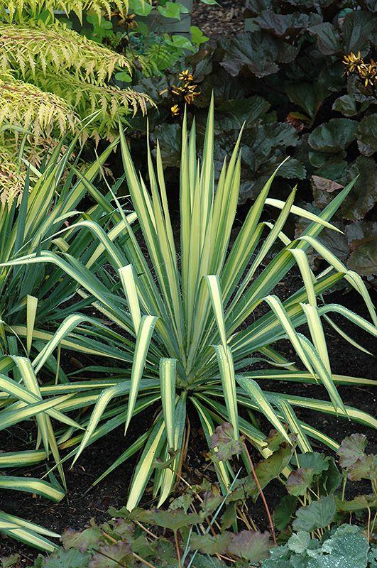 Golden Sword Adam's Needle (Yucca filamentosa 'Golden Sword') at Squak Mountain Nursery. full sun. dryer well drained  soil. evergreen. 20 years