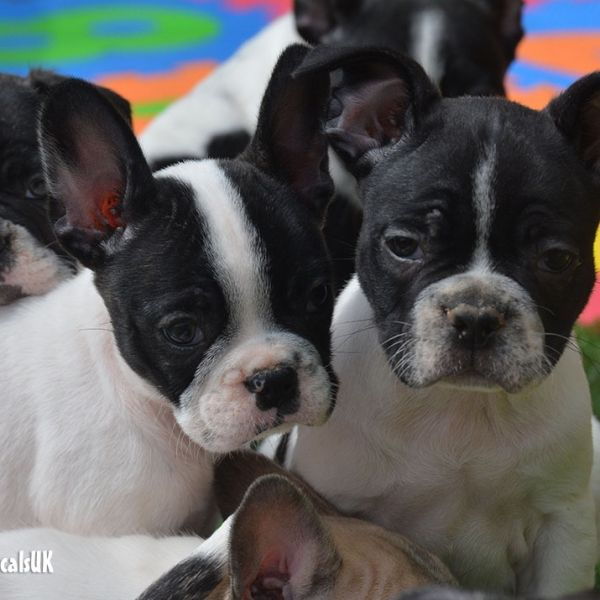 Frug Puppies Puppies Puppies For Sale Boston Terrier