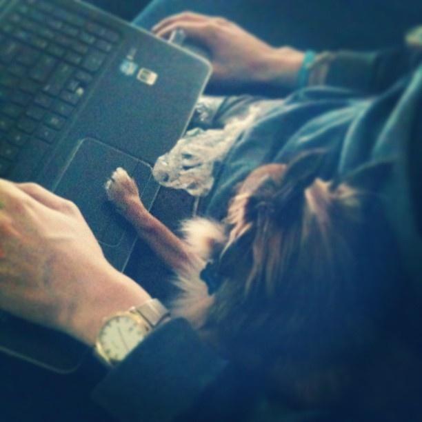 Bonzo my gaming Chihuahua. #chihuahua