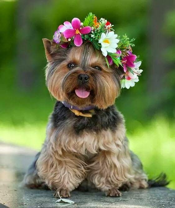 Yorkshire com uma coroa de flores