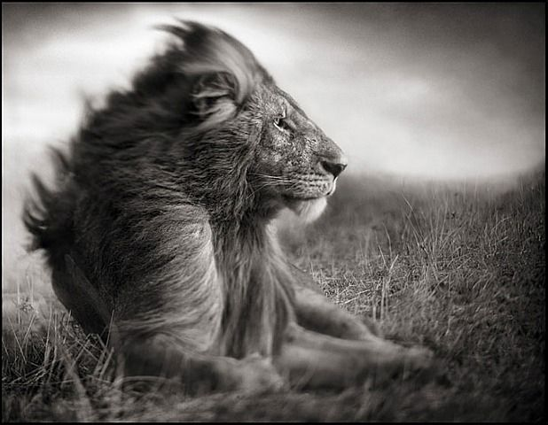 Lion Before Storm II - Sitting Profile, Maasai Mara by Nick Brandt or, ASLAN the Magnificent