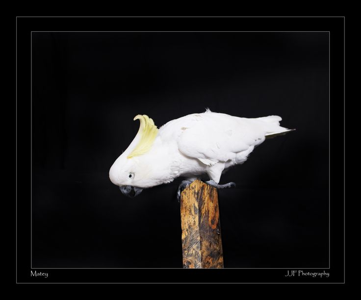 Matey The Sulphur Crested Cockatoo www.jjfphotography.com.au