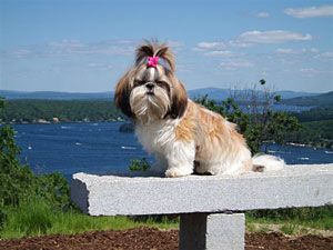 Windsong Shih Tzu - Breeders of Beautiful Shih Tzu Puppies  http://www.windsong-shihtzu.com