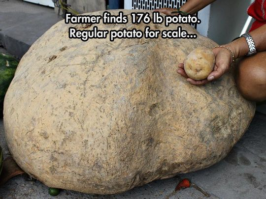 This is not an optical illusion, just a 176-pound potato.
