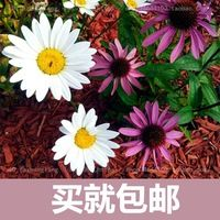 Pyrèthre graine de fleur livraison gratuite fleur fleurs Saisons diffusion en pot plantes facile à plantes d'intérieur balcon charnu 20 graines