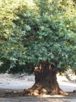 Şirin Kedi: Old Plane Tree