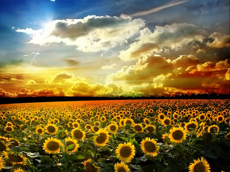 Sunflower Field Flowers P HD Wallpaper For Desktop