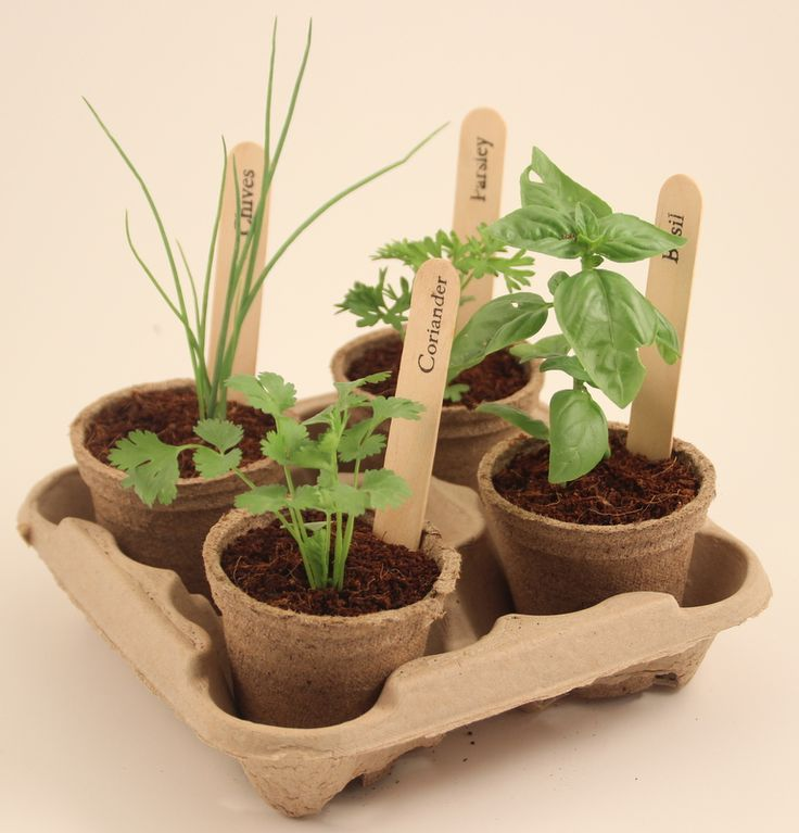 GrowKit herbs growing in biodegradable Jiffy pots.