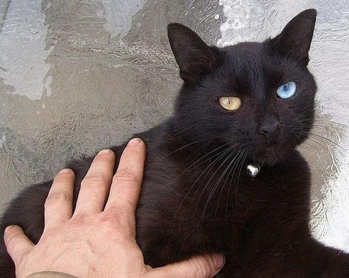 maine cat price