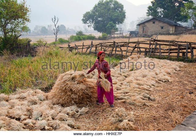 Indian woman working on a recently harvested crop at the remote Chuka village, made famous by Jim Corbett, Sarda River, Kumaon,Uttarakand, India - Stock Image