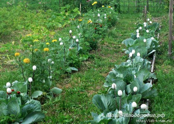 Из опыта огородницы по выращиванию капусты