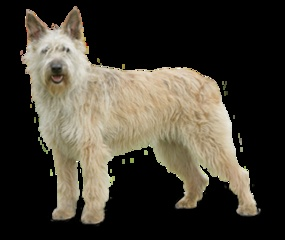 There are so many! Many more than the 175 registered with AKC! Dog Breeds | Pet Paw
