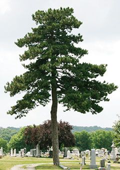 117 best images about plants and trees on pinterest for Mature pine trees