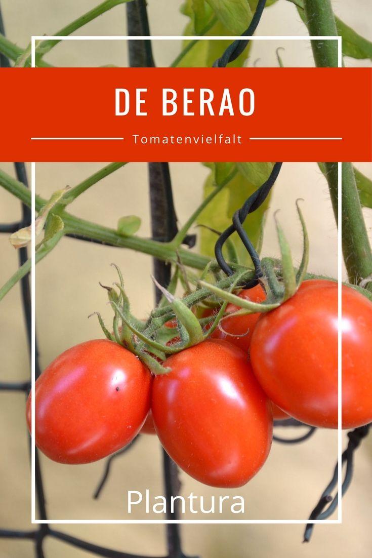 Die Tomatensorte De Berao ist besonders für ihren robusten und kräftigen Wuchs bekannt. Die Sorte lässt sich auch in Deutschland im Freiland kultivieren.