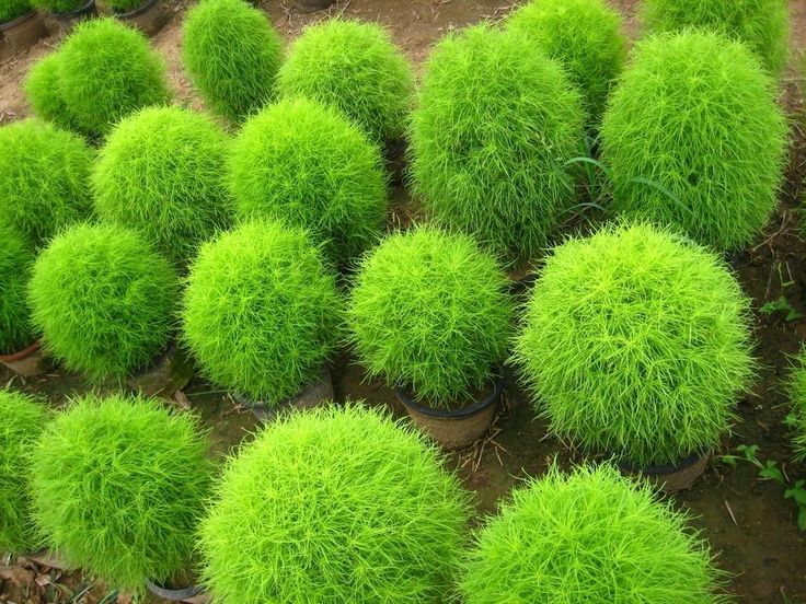 Burning bush grass kochia scoparia summer cypress seeds for Hardy ornamental grasses