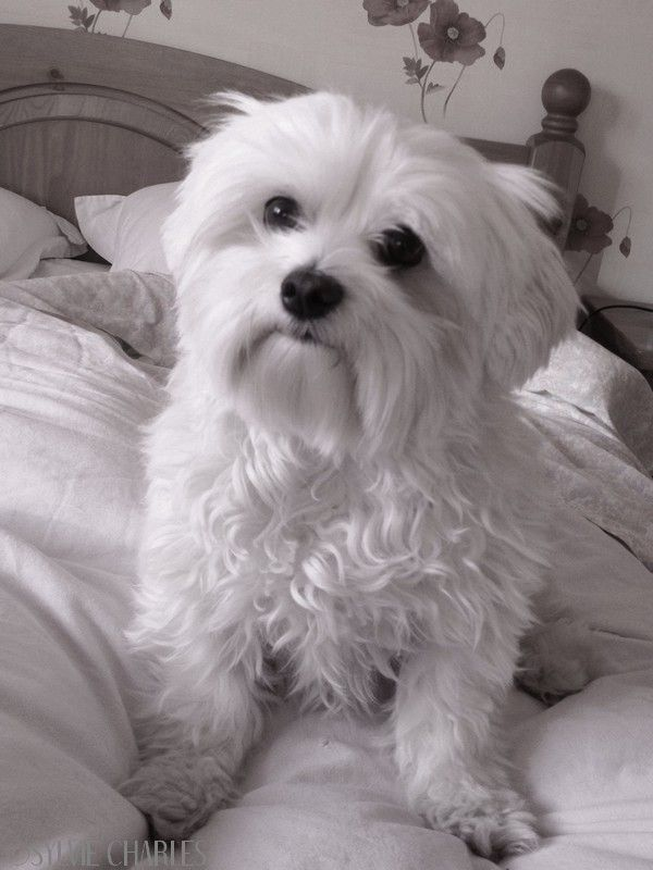 25+ best ideas about Bichon Maltais on Pinterest | Chiot