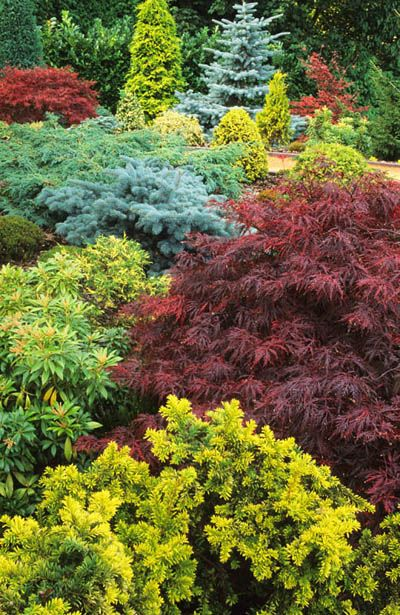 The October landscape - Japanese Maple and conifers.                                                                                                                                                                                 More