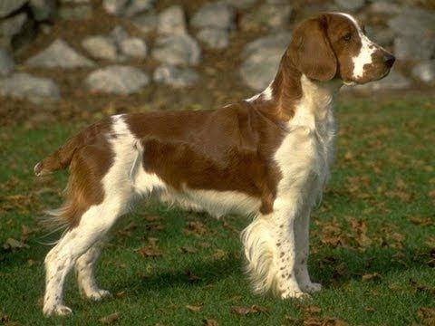 Английский спрингер спаниель. Породы собак - YouTube