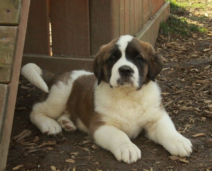 St Bernard Dog For Sale In Kerala