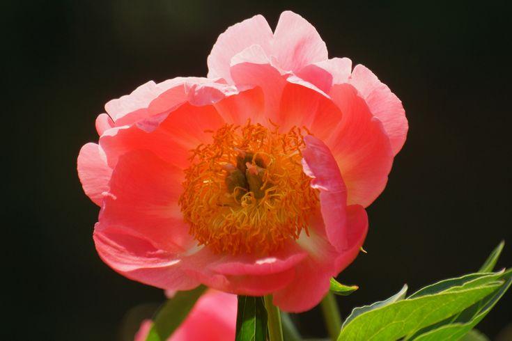 しゃくやく (芍薬)/Paeonia lactiflora | by nobuflickr