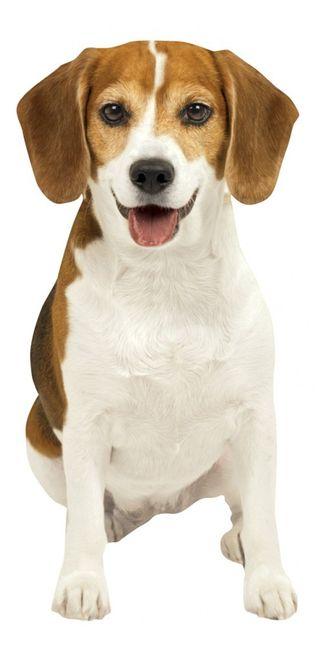 Best 25+ Beagle dog ideas on Pinterest | Racing dogs, Beagle dog ...