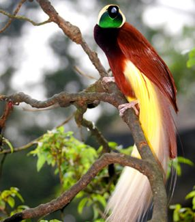 Magnificent Bird of Paradise of New Guinea