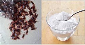 Baratas são pragas comuns e muito odiadas, principalmente quando elas aparecem dentro de casa.Elas não só têm aparência asquerosa como também são bastante prejudiciais à saúde.As baratas são transmissoras de diversos tipos de germes e bactérias.