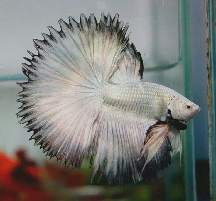 BETTA: Silver Dragon * * ANOTHER GORGEOUS BETTA. LOTS OF PEOPLE DON'T READ UP ON HOW TO CARE FOR THEM.