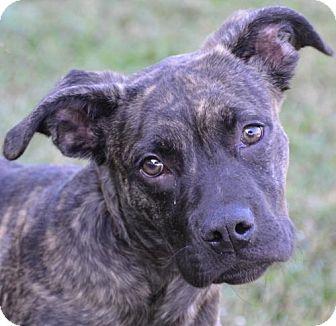 Englewood, FL - American Pit Bull Terrier. Meet Hunter, a puppy for adoption. http://www.adoptapet.com/pet/17006217-englewood-florida-american-pit-bull-terrier