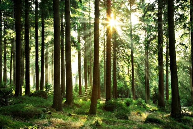 Sunbeam through Trees - Wall Mural & Photo Wallpaper - Photowall
