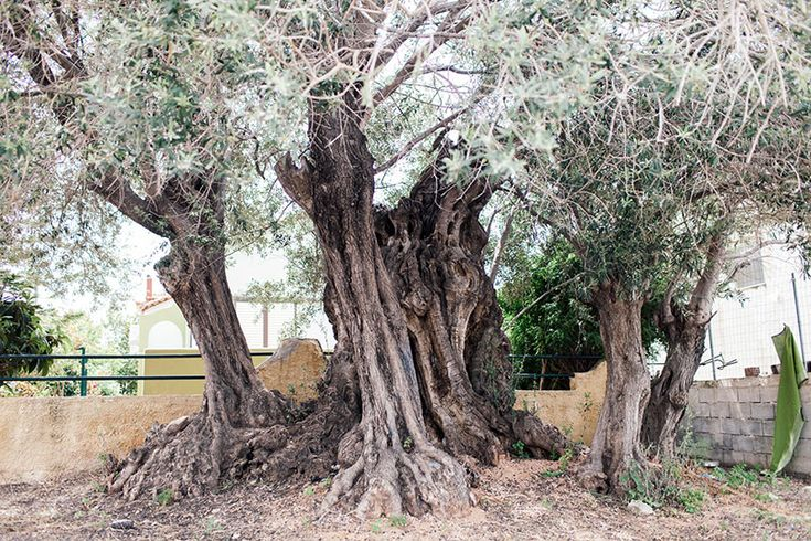 Η «Ελιά της Όρσας»: Ένα δέντρο 2500 ετών στη Σαλαμίνα Πηγή: www.lifo.gr