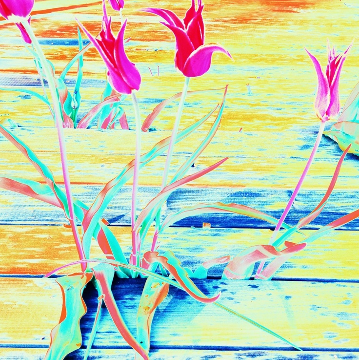 unbezwingbare Tulpen, Blumen