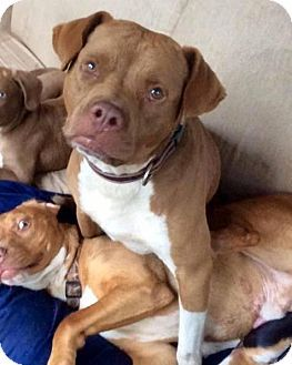Pictures of Archie a Boxer/American Bulldog Mix for adoption in Decatur, GA who needs a loving home.