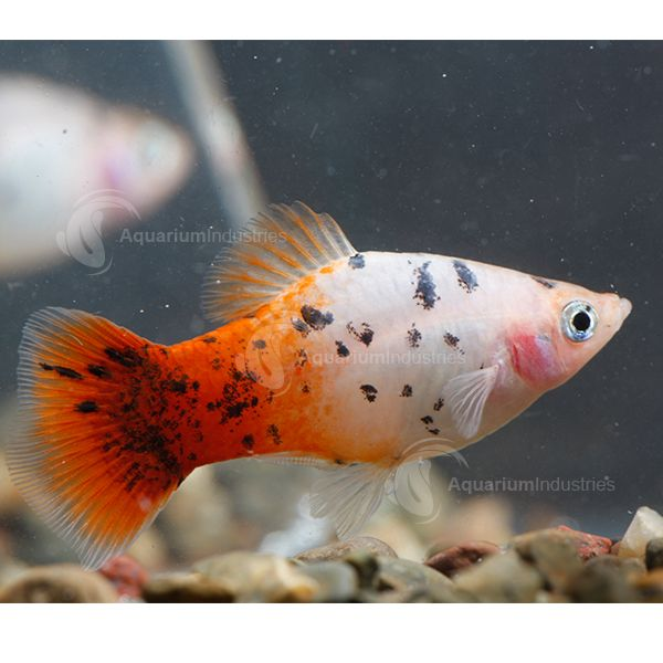 149 best platy fish images on pinterest fish aquariums for Platy fish breeding
