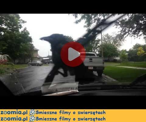Kruk « Inne zwierzęta « Śmieszne filmy o zwierzętach - śmieszne koty, śmieszne psy. Zoomia.pl :: Zoomia pl