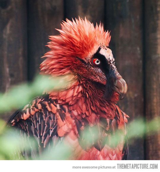 bearded vulture - cuteness level 6.  this this is so awesome looking.