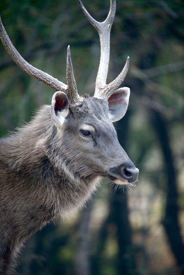 Male sambar deer looking down par Nick Dale on 500px