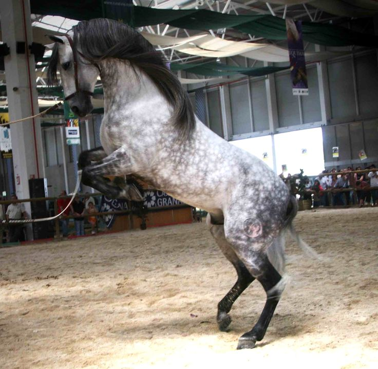 images of dapple grey horses | Spectacle, andalusian, dapple grey, grey, horses, spanish