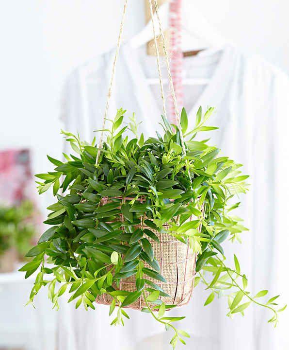 10 Plantes Retombantes d'Intérieur Indispensables à la Maison  Aeschynanthe retombante 'Japhrolepis'