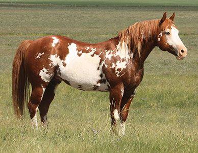 APHA Stallion, Mr Parteebuilt, Delorme - South Shadow Angus + Paints and Quarter Horses