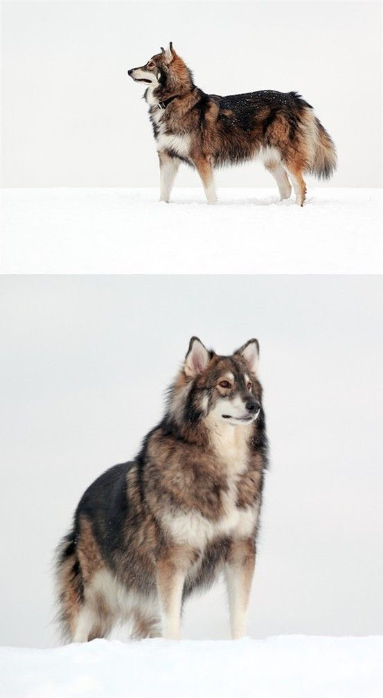 The Utonagan resembles a wolf, but in fact is a mix of 3 breeds of domestic dog: Alaskan Malamute, German Shepherd, and Siberian Husky